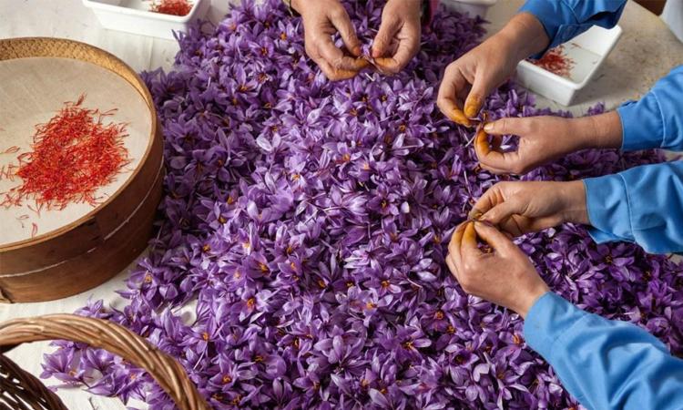 Thu hoạch nhụy hoa nghệ tây được thực hiện thủ công hoàn toàn bằng tay